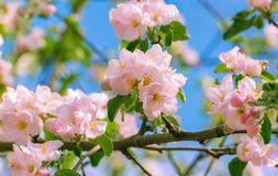 Blossoming apple tree with  flowers Royalty Free Stock Photography