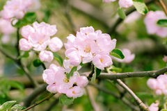 Blossoming apple tree with  flowers Stock Image