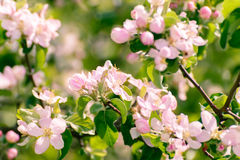 Blossoming apple tree with  flowers Royalty Free Stock Image