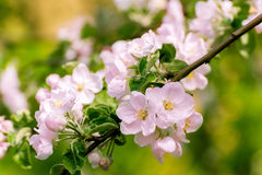 Blossoming apple tree with  flowers Royalty Free Stock Images