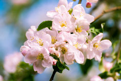 Blossoming apple tree with  flowers Stock Photography
