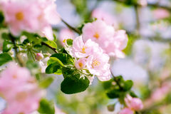 Blossoming apple tree with  flowers Stock Photos