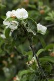 Blossoming apple tree Stock Photo