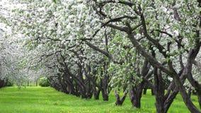 Blossoming apple-tree garden stock video
