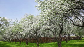 Blossoming apple-tree garden stock footage