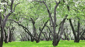 Blossoming apple-tree garden in sunny spring day stock video