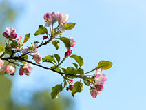 Blossoming apple tree. Image was taken in Tukums district of Latvia Stock Photography
