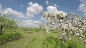 Blossoming apple tree  industrial orchard garden. Timelapse 4K stock video