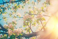 Blossoming apple tree instagram stile Stock Photos