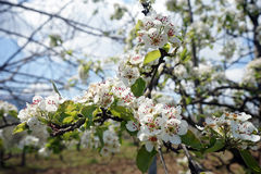 Blossoming apple tree in late April Stock Photos