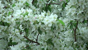 Blossoming apple tree stock video footage