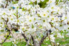 Blossoming apple tree Malus prunifolia, Chinese apple, Chinese crabapple spread the fragrant aroma. The apple tree in the full royalty free stock image