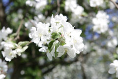 Blossoming apple tree in May in Moscow. On the old garden Stock Photography