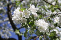 Blossoming apple tree in May in Moscow. On the old garden Stock Photos