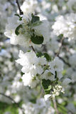 Blossoming apple tree in May in Moscow. On the old garden Royalty Free Stock Photos