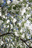 Blossoming apple tree in May in Moscow. On the old garden Royalty Free Stock Photo