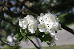 Blossoming apple tree in May in Moscow. On the old garden Stock Images