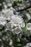 Blossoming apple tree in May in Moscow. On the old garden Royalty Free Stock Photography