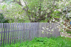 Free Blossoming Apple Tree On The Wooden Wall. Royalty Free Stock Images - 72246609