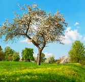Blossoming apple tree over cloudy blue sky Stock Photo