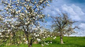 Blossoming apple tree over nature background stock video