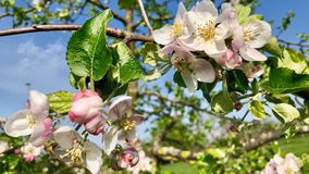 Blossoming apple tree over nature background stock video footage
