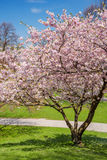 Blossoming apple tree Royalty Free Stock Photos