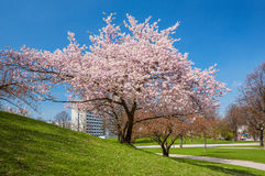 Blossoming apple tree in a park. In sunny day Royalty Free Stock Photo