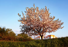 Blossoming apple tree with pink flowers. On background of the city Stock Image