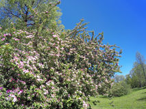 Blossoming apple tree with pink flowers on the blue sky background Stock Photo
