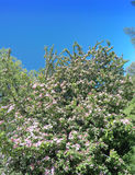 Blossoming apple tree with pink flowers on the blue sky background Royalty Free Stock Images