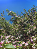 Blossoming apple tree with pink flowers on the blue sky background Royalty Free Stock Image