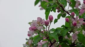 Blossoming apple tree in the rain. Blossoming apple tree after spring rain, pink flowers and leaves are covered with water drops stock video