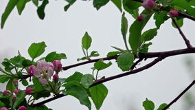 Blossoming apple tree in the rain. Blossoming apple tree after spring rain, pink flowers and leaves are covered with water drops stock video footage