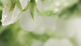 Blossoming apple-tree. Rain. stock video