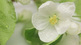 Blossoming apple-tree. Rain. stock video footage
