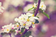 Blossoming apple tree Royalty Free Stock Images