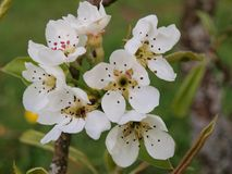 Blossoming apple tree. South Bohemia, Czech Republic Royalty Free Stock Photography