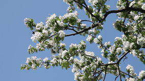 Blossoming Apple Tree. Spring branches of a blossoming apple tree stock video footage