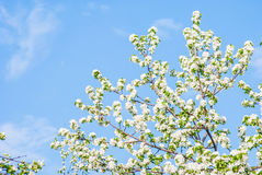Blossoming apple tree, spring flowers Royalty Free Stock Image
