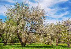 Blossoming apple-tree in a spring garden Royalty Free Stock Image