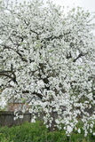 Blossoming apple tree in spring garden covering with snowy white flowers at old wood farm log house background Stock Photography