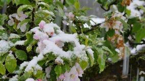 Appleblossom  after sudden snowfall in april. Blossoming apple tree after sudden snowfall in April stock video footage