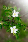 Blossoming apple tree Stock Images