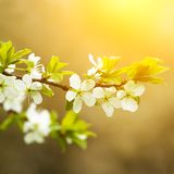 Blossoming apple tree Stock Photography