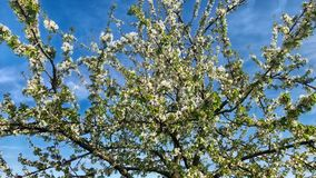 Blossoming apple tree stock video