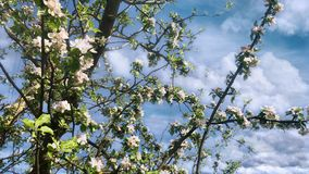 Blossoming apple tree stock footage