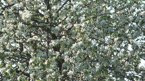 Blossoming apple-tree. Apple twig with flowers and a bud stock footage