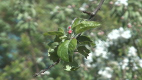 Blossoming apple-tree. Apple twig with flowers and a bud stock video footage