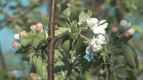 Blossoming apple-tree. Apple twig with flowers and a bud stock video